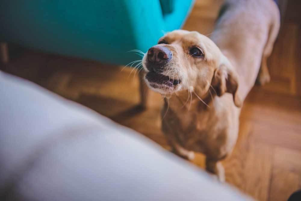 Chihuahua barking at person sitting down