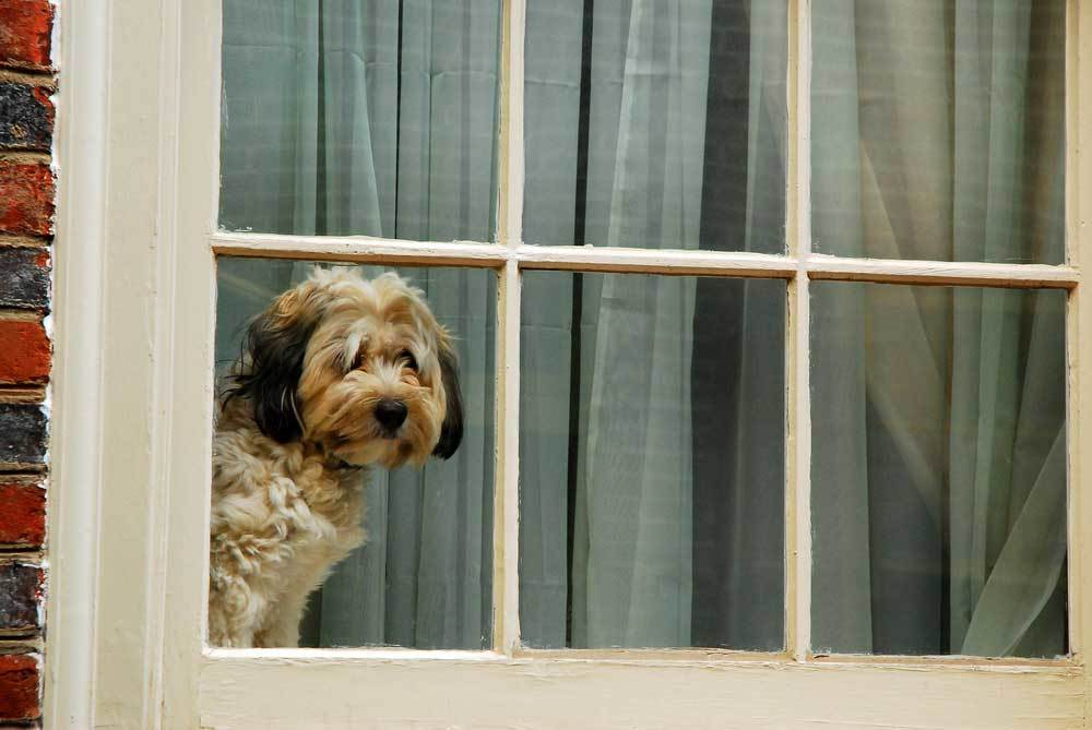 Shaggy dog looking out of window