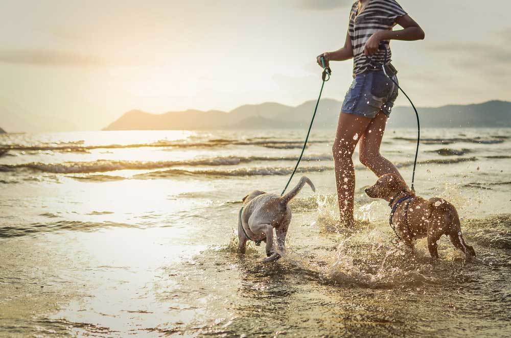 dogs on leashes running on beach with owner
