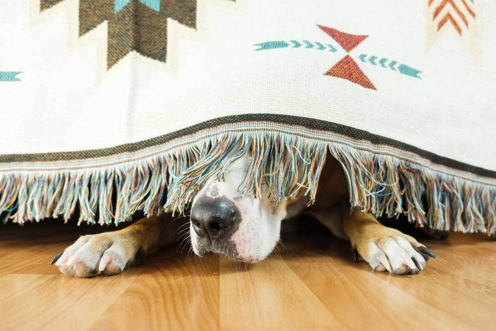 dog hiding under edge of blanket