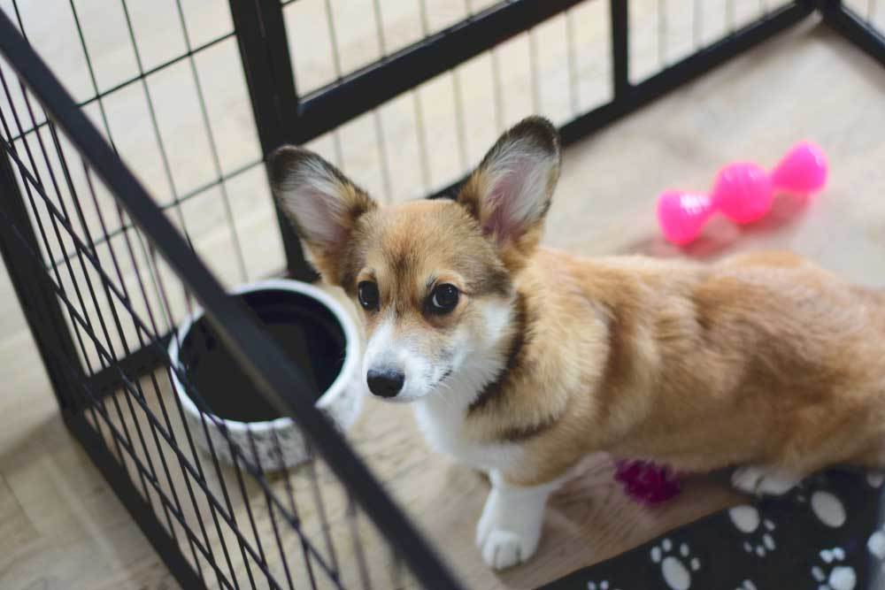 Corgi in puppy play pen with food bowl and toys