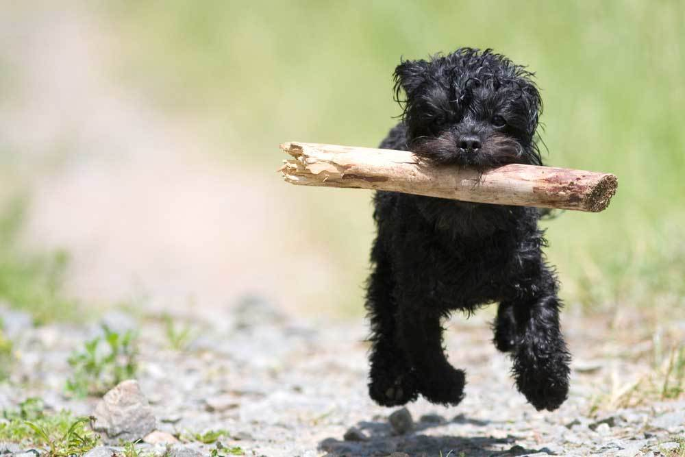 Black furry dog running down path with stick in its mouth