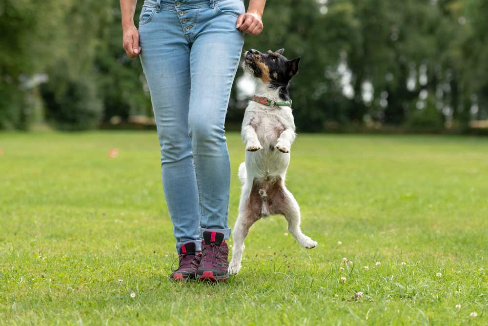 Terrier jumping up at human legs