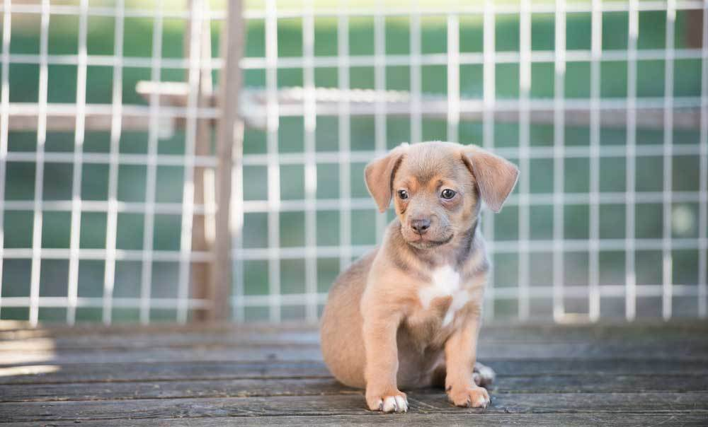 Puppy sitting on deck in front of baby gate