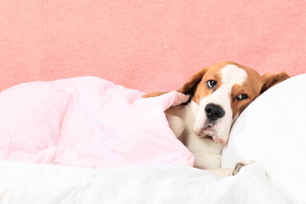 basset hound laying on bed with pink wall and blanket