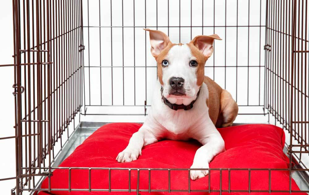Brown and white puppy sitting on red pillow in metal dog crate