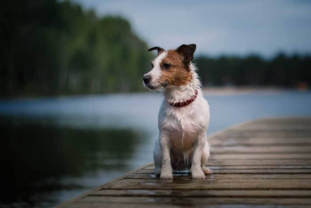 Jack Russell Terrier sitting on a dock next to water