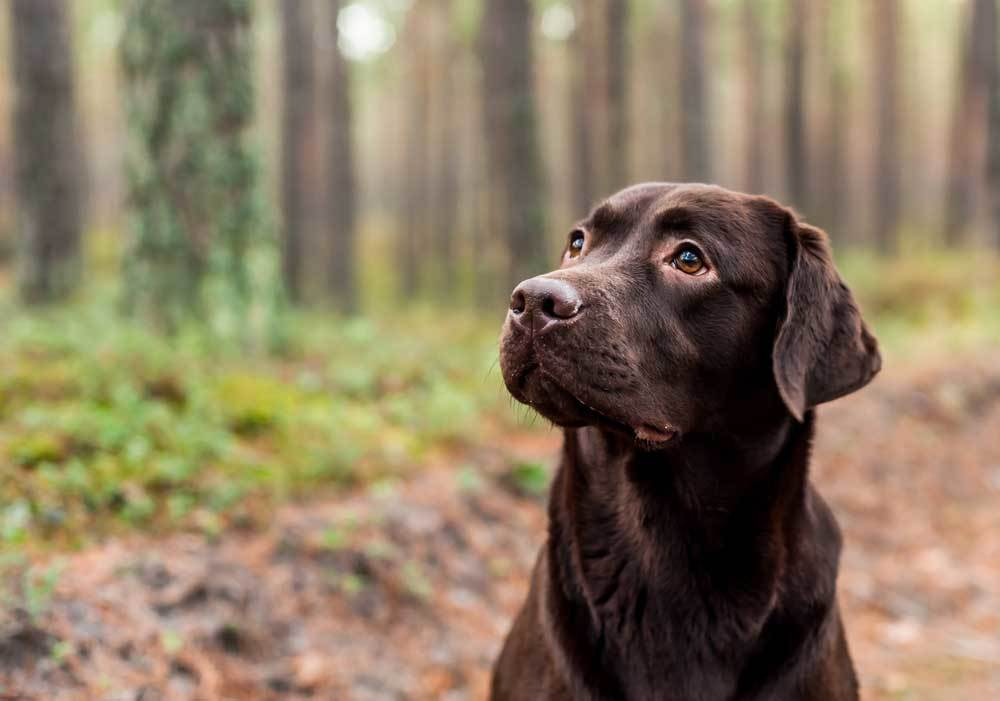 Head view of a Chocolate Labrador on a wooded trail