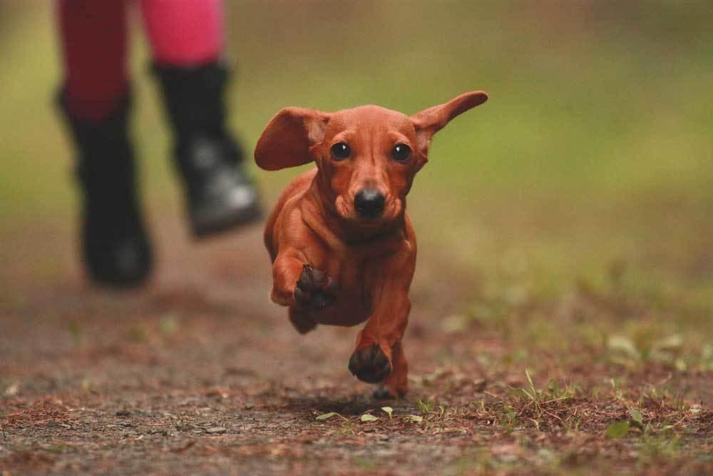 Dachshund running on dirt path