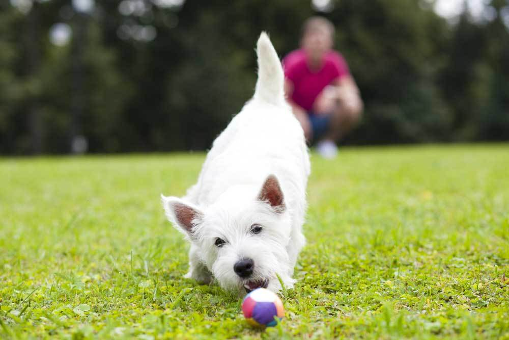small white dog playing catch with owner