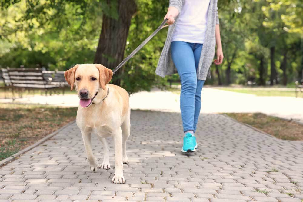 Yellow Labrador on a leash being walked by woman