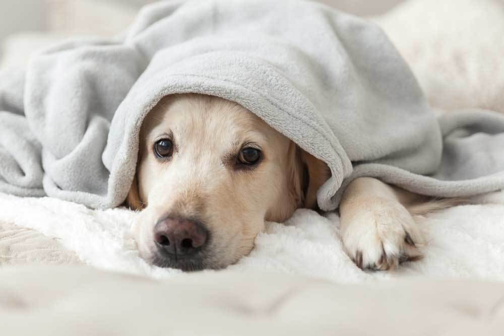 yellow lab with head peeking from under blanket
