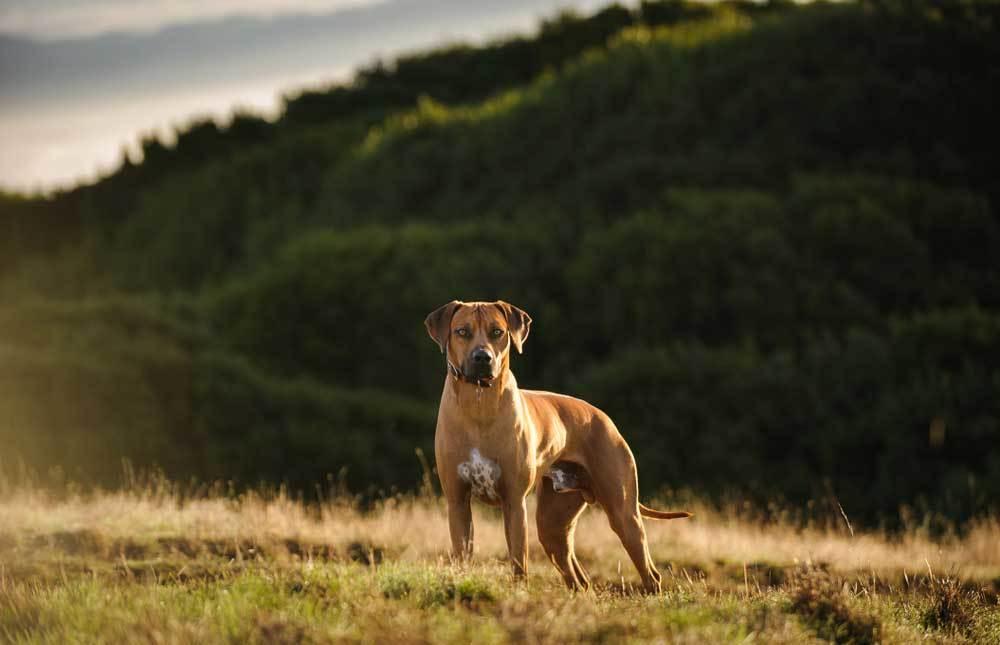 Rhodesian Ridgeback standing on grass covered hill