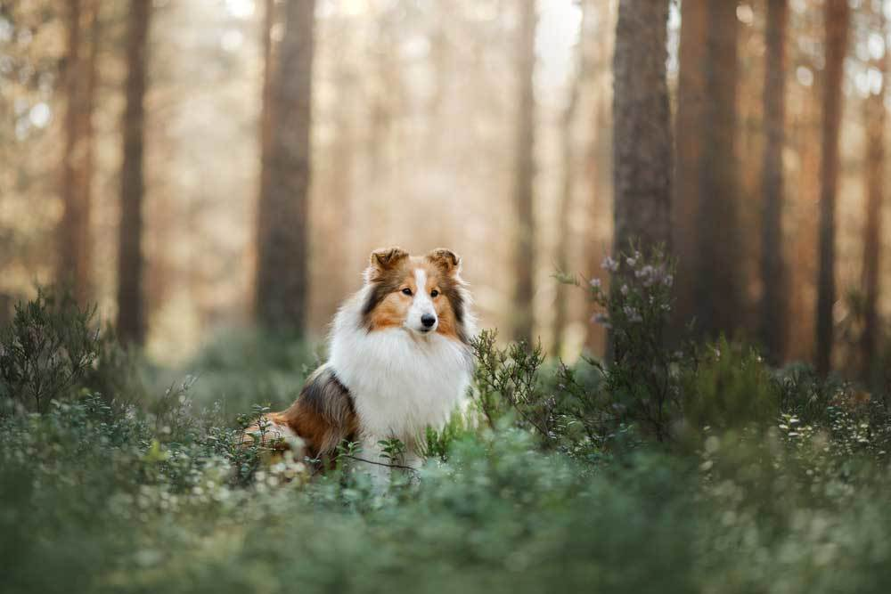 Shetland Sheepdog sitting in wooded area