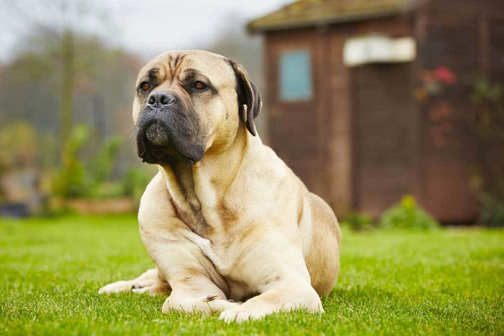 Cane Corso laying on grass in yard