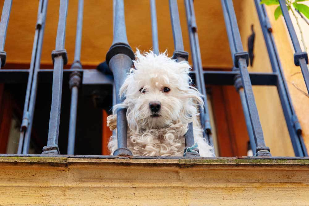 Scruffy dog looking through the rails on a balcony