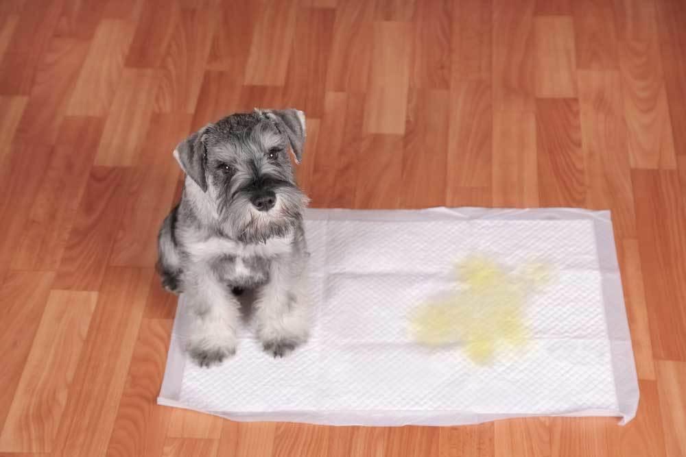 Terrier sitting on pee pad in hardwood floor