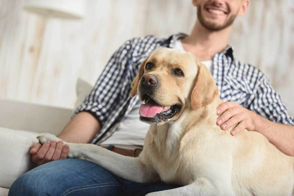 Man petting yellow lab on couch