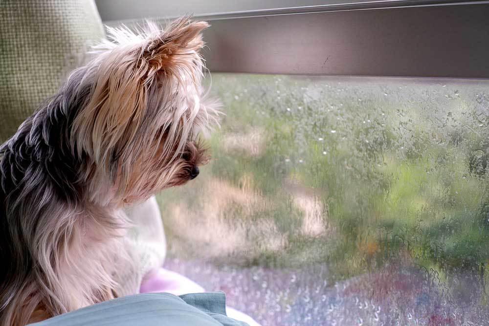 yorkie peeking out of a window
