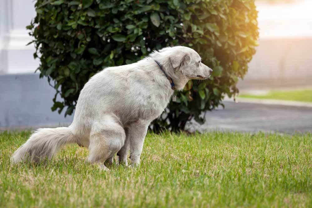White dog pooping in yard