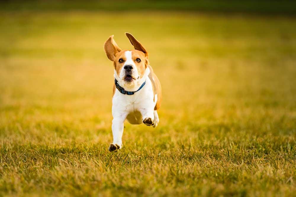 Beagle running through field of grass