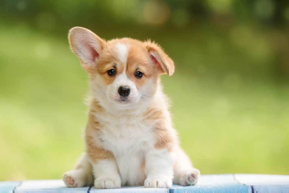 Corgi puppy sitting in nature
