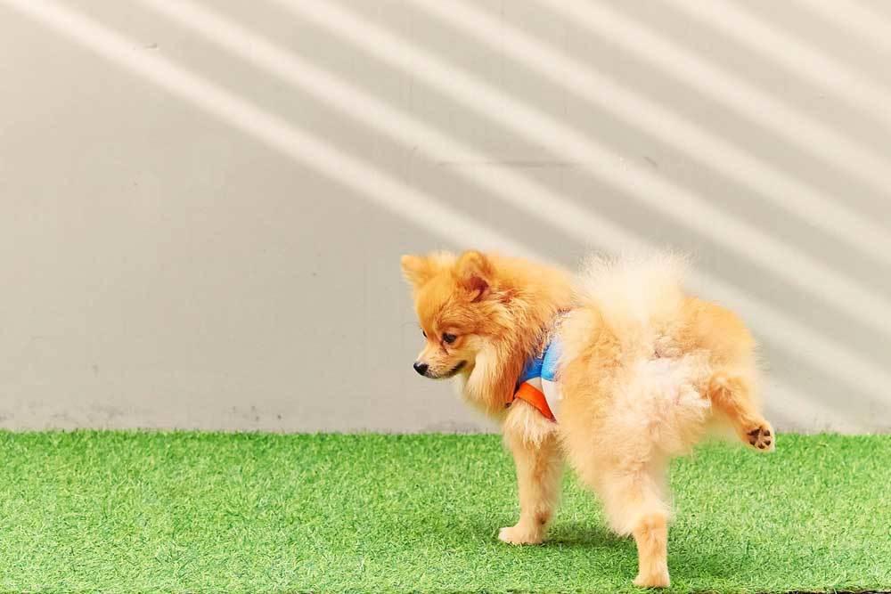 Pomeranian peeing on artificial grass