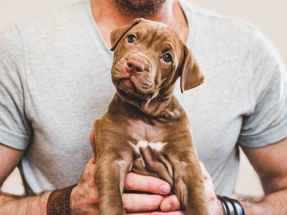 Cute brown puppy being held by masculine hands