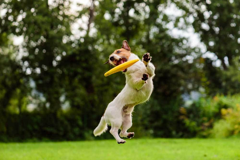 Jack Russell Terrier leaping for frizbee