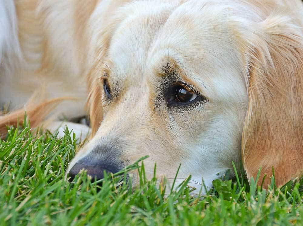 close up of golden retriever laying in grass