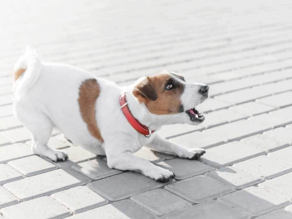 Jack Russell Terrier crouched on a grey brick patio barking
