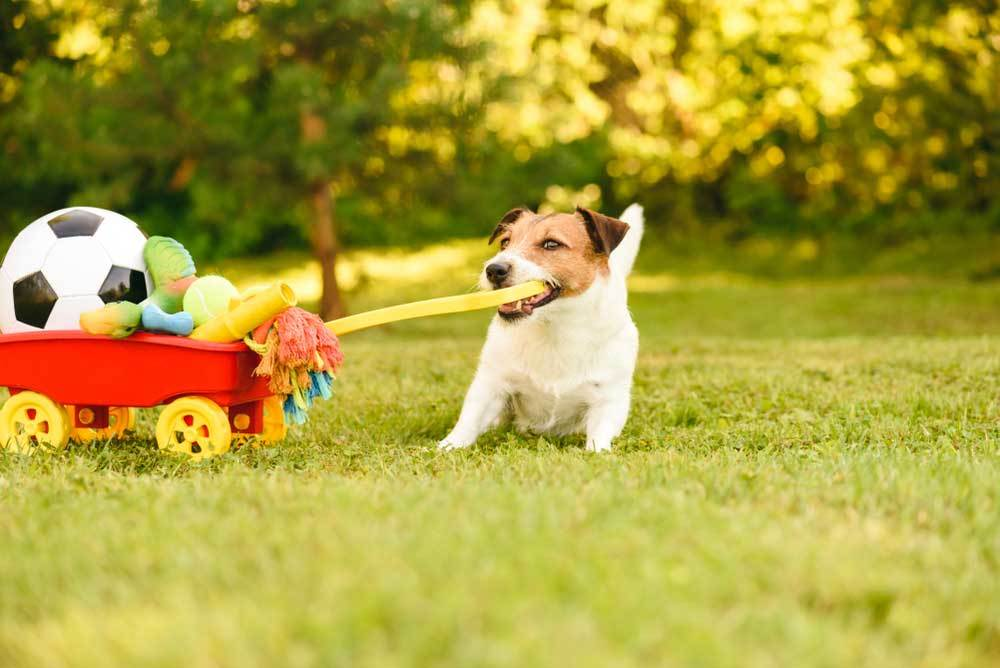 Jack Russell Terrier pulling wagon full of toys in yard