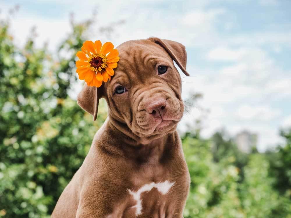 Brown puppy with orange flower tucked behind ear