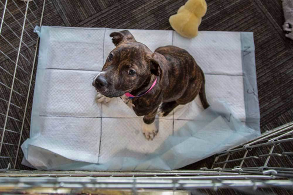 Puppy sitting on pee pad looking up