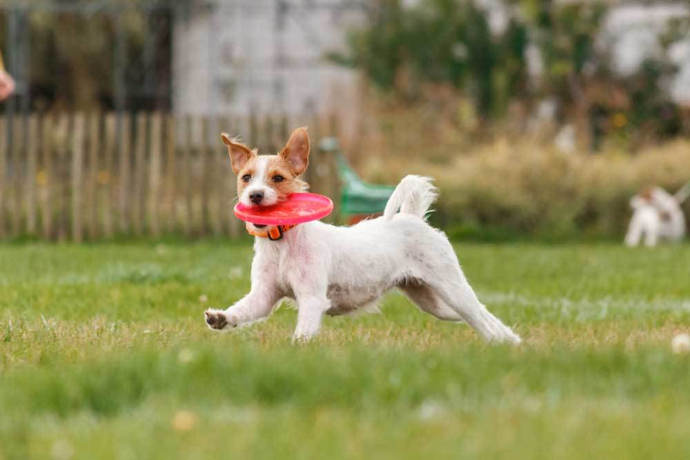 Jack Russell Terrier puppy playing frisbee in a yard