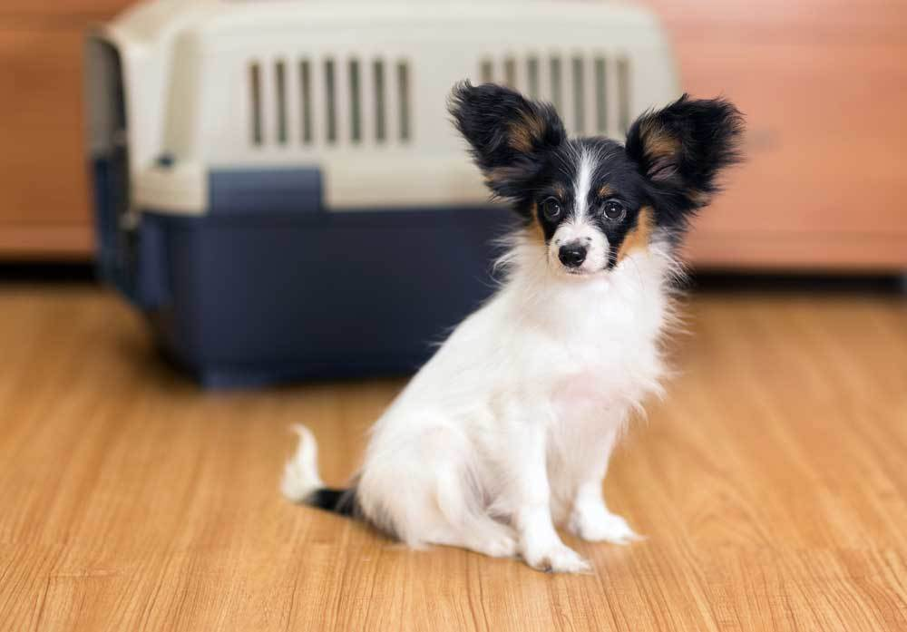 long haired chihuahua sitting in front of crate