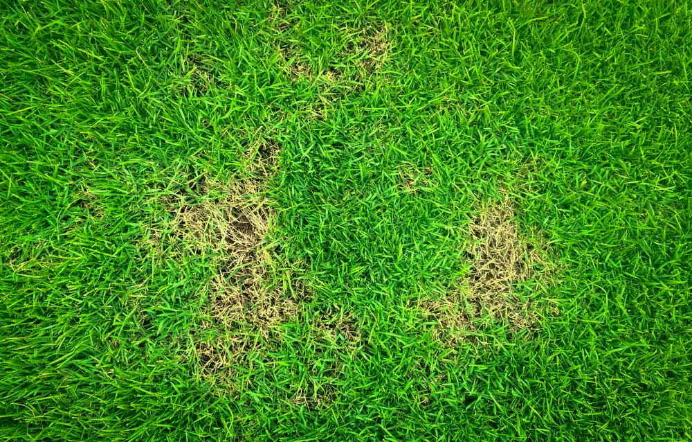 grass with yellow spots