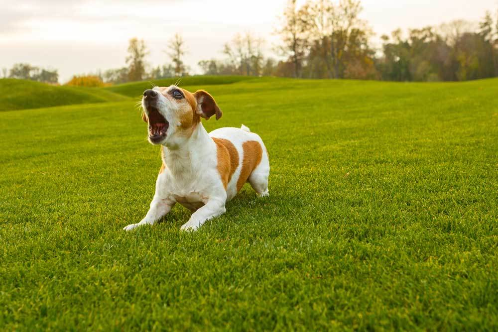 Jack Russell Terrier puppy barking in a field of grass