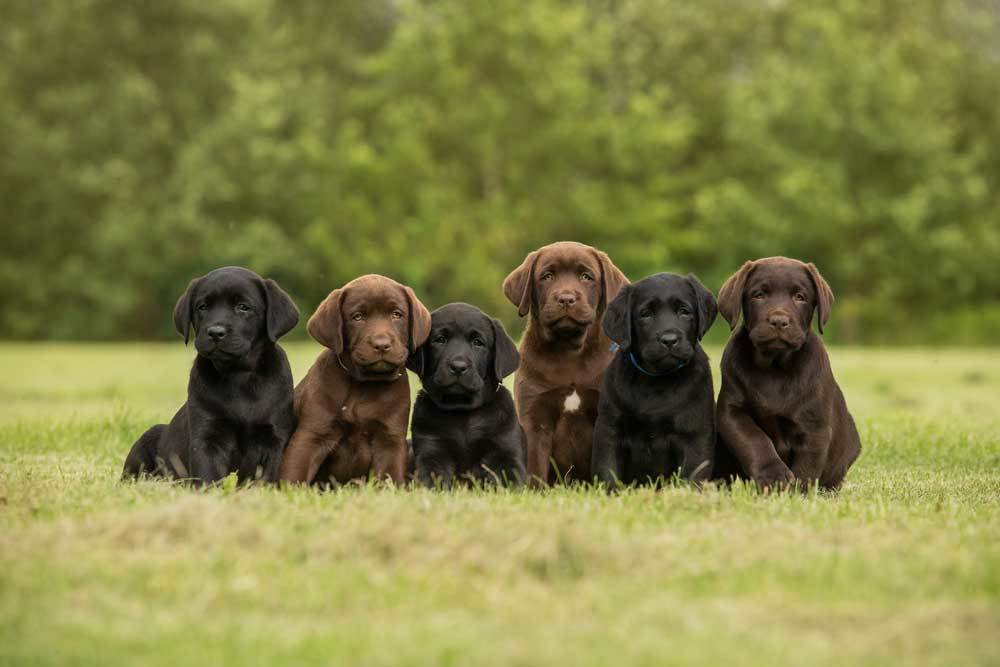 black and chocolate labrador puppies sitting in grass