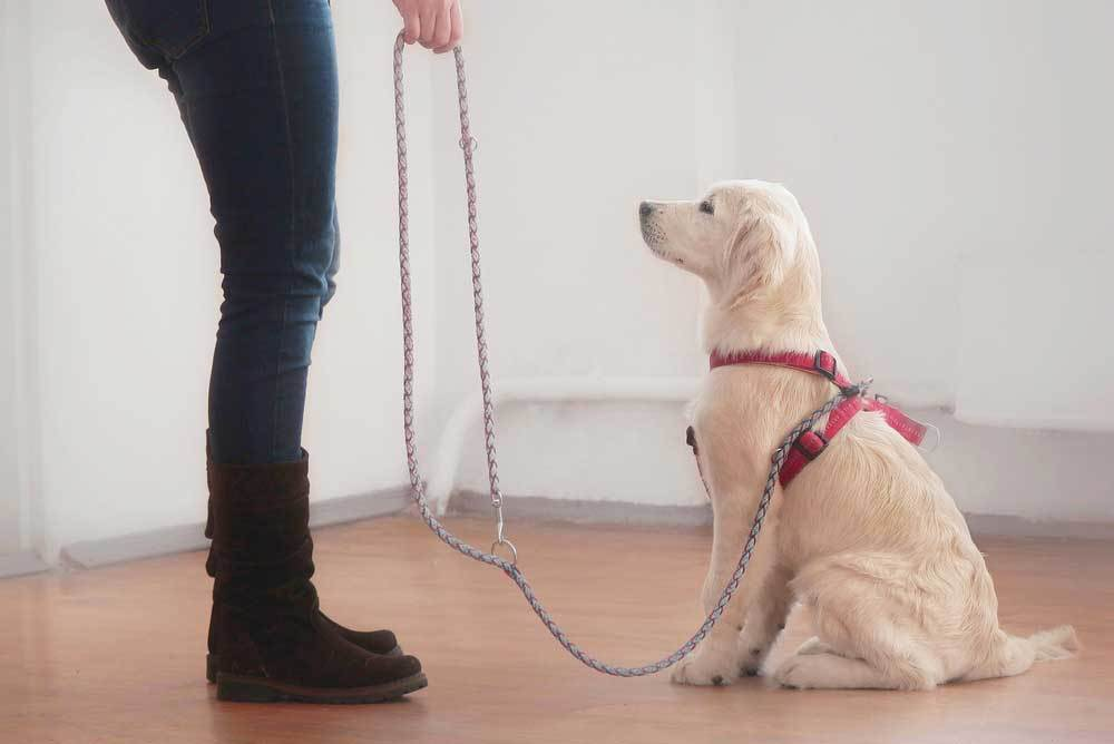 golden retriever puppy being leash trained