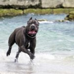 Cane Corso running in water