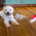 Maltese sitting on floor next to broom and pile of hair