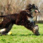 Afghan Hound running through grassy field