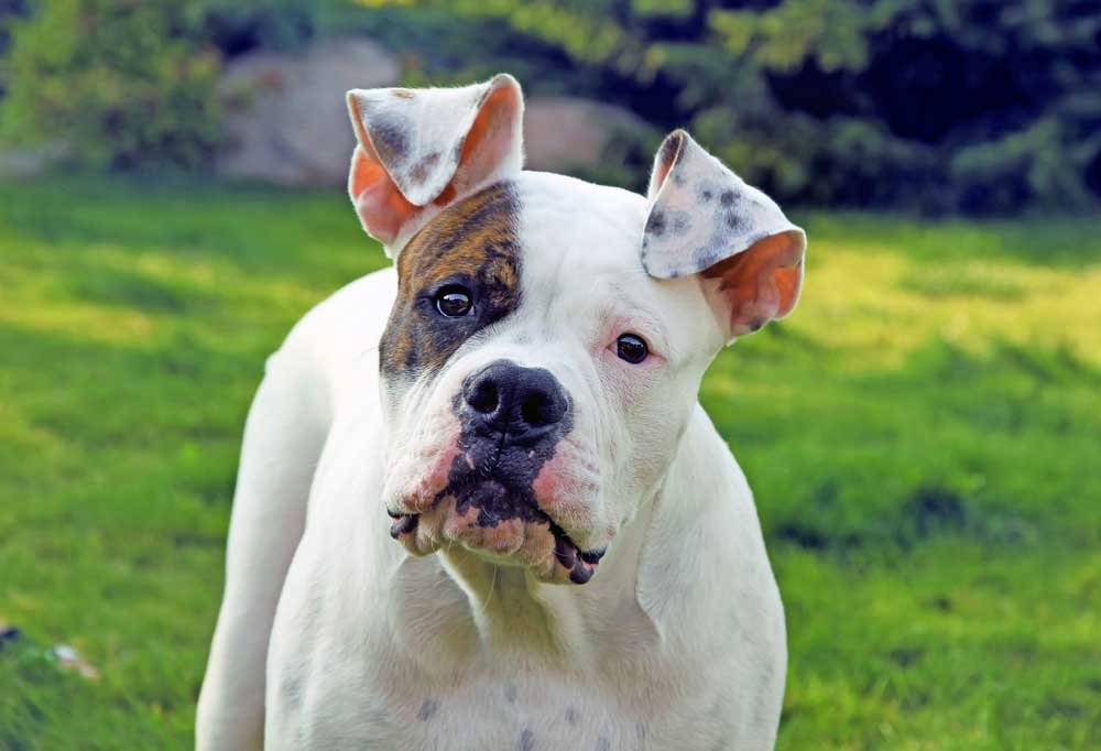 Bulldog with head tilted looking at camera