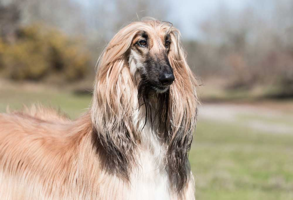 Portrait of an Afghan Hound in a grassy field