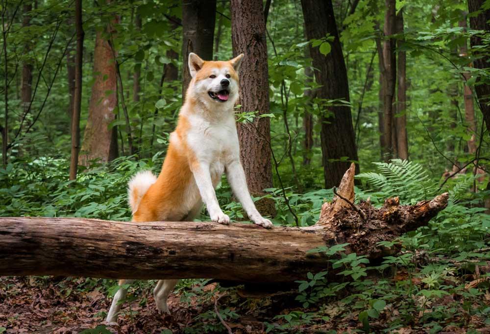 Akita on nature trail