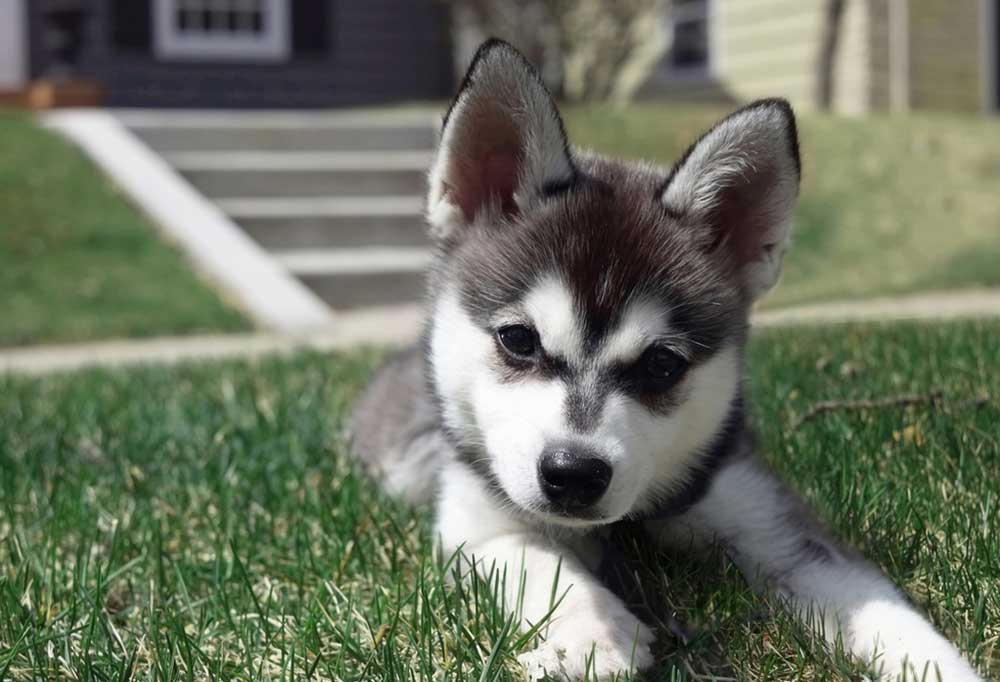 Alaskan Klee Kai puppy laying on grass in front of house