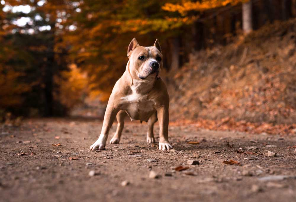 American Bulldog standing on dirt trail