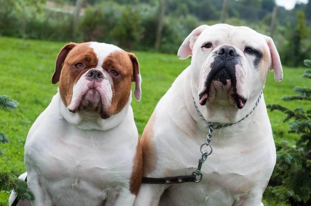 2 American Bulldogs