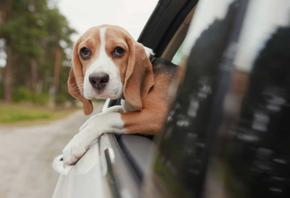 Beagle with head out of car window